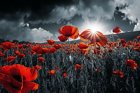 red poppies in the field. background ima
