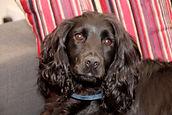 Bryn, Canine Volunteer, CCAST Highland
