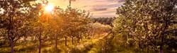 Masons Orchard