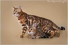 Wildgrace Wildgaceben купить котенка