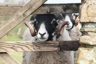 great swaledale sheep