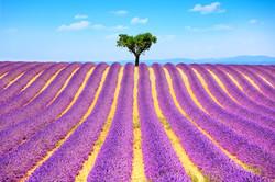 Lavande, Provence, France