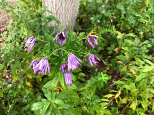 Wet New England Aster