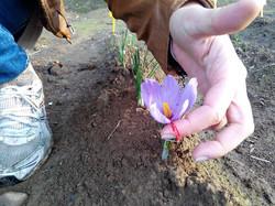 fiore di crocus