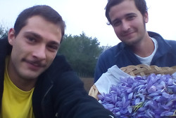 raccolta dei fiori di zafferano