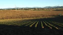 campo di zafferano