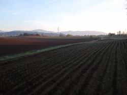 campo di zafferano in brianza