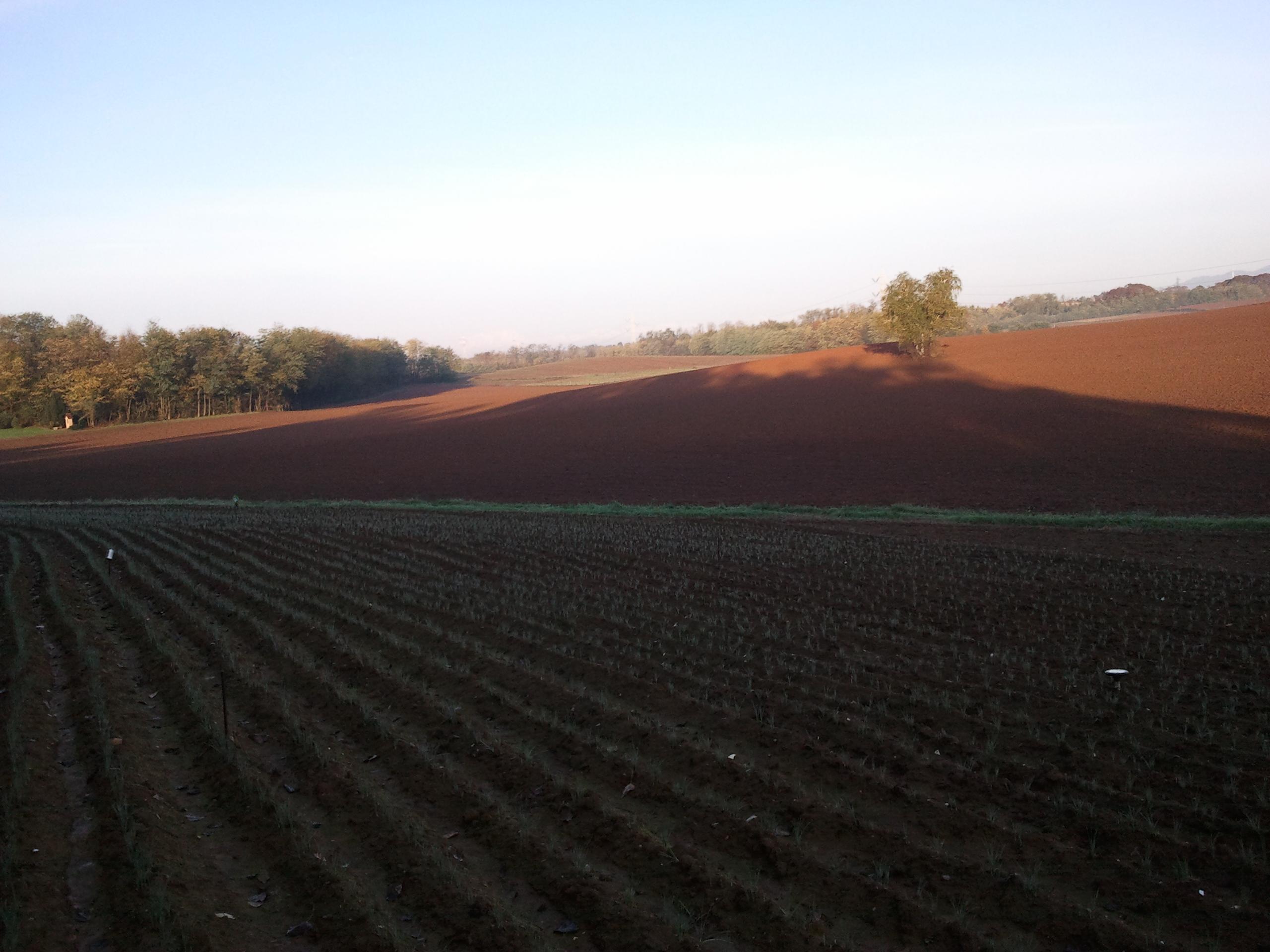 zafferano coltivato in brianza
