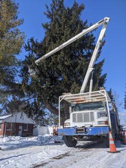 Correcting Storm Damaged Norway Spruce