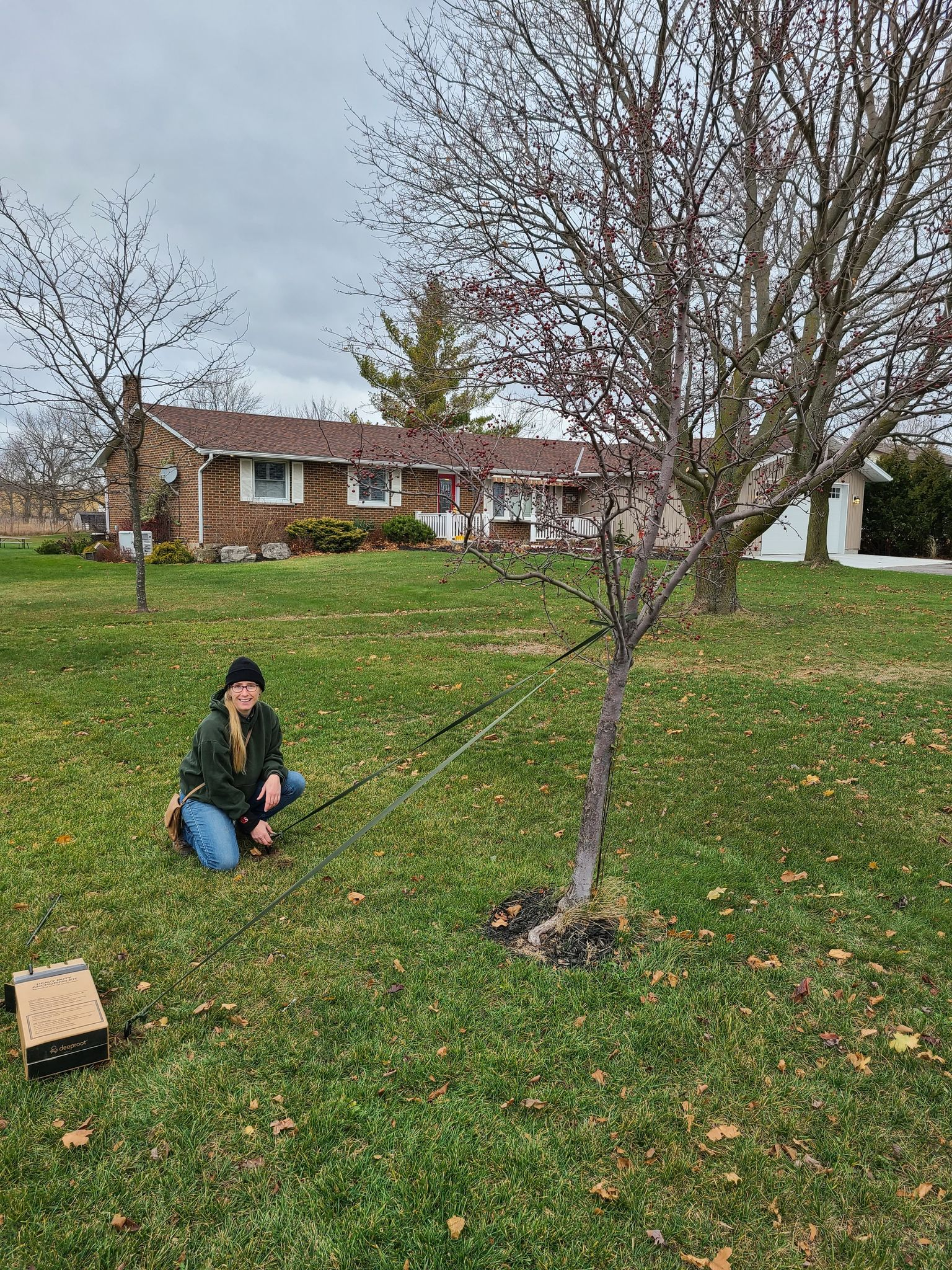 Guying a Small Apple Tree