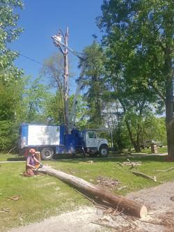 Removal of Dangerous Dead Poplars