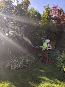 Spraying for Magnolia Scale