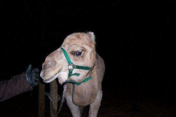 Bethlehem Live Camel