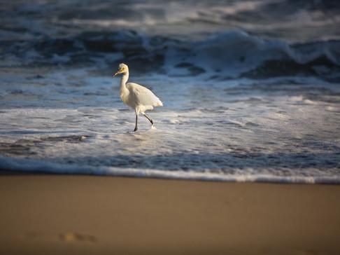 surfing bird california
