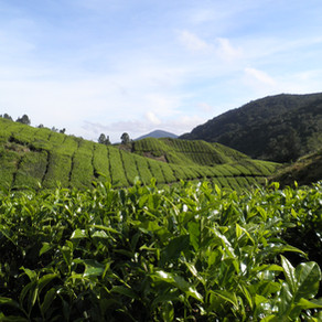 Malaysia - fun times, stunning landscapes and amazing food: Cameron Highlands and Penang