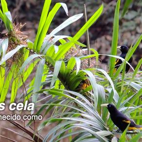 Xexéu (Cacicus cela) no seu habitat natural