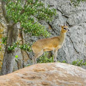 Klipspringer / Cabrito-das-Pedras