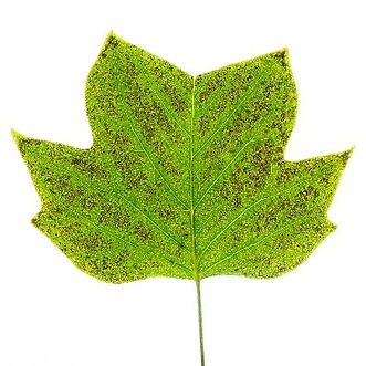 Ozone-damaged leaf.jpg