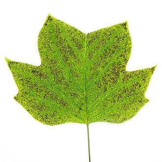 Ozone-damaged leaf.jpg