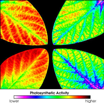 Ozone damage photosynthesis fluorescence