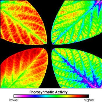 Ozone damage photosynthesis fluorescence