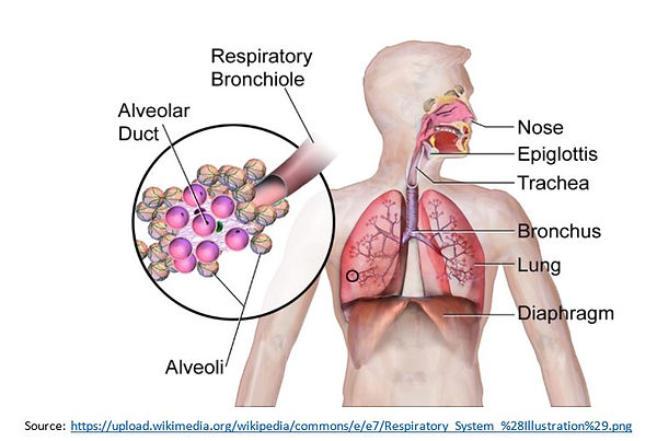 Organs of the Respiratory System.jpg
