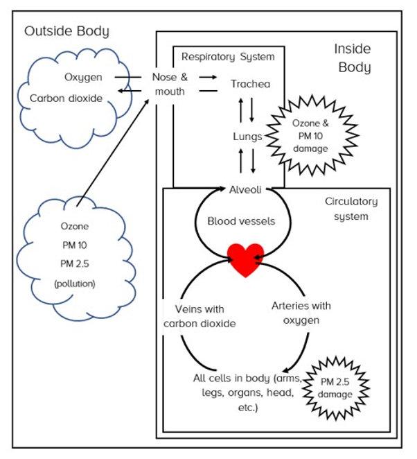 Respiratory Circulatory System Model wit