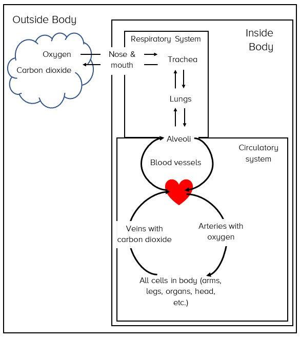 Respiratory Circulatory System Model.jpg