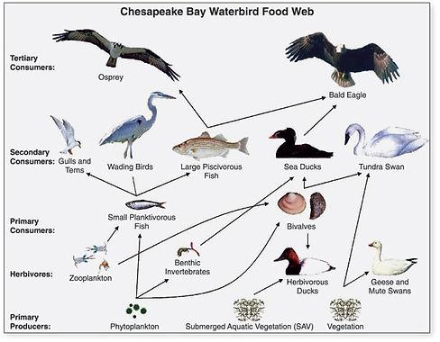 Chesapeake Bay Food Web.jpg