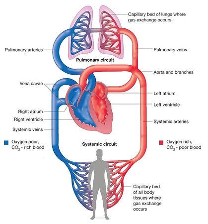 Circulatory System.jpg