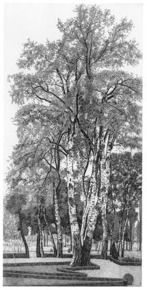 I pioppi bianchi della Marchesina