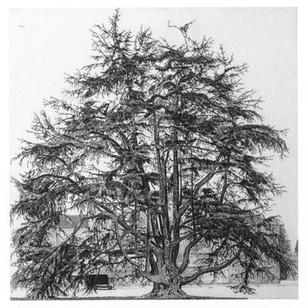 Il cedro di Villa Olmo