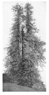Le sequoie del parco della Burcina, Lombardia