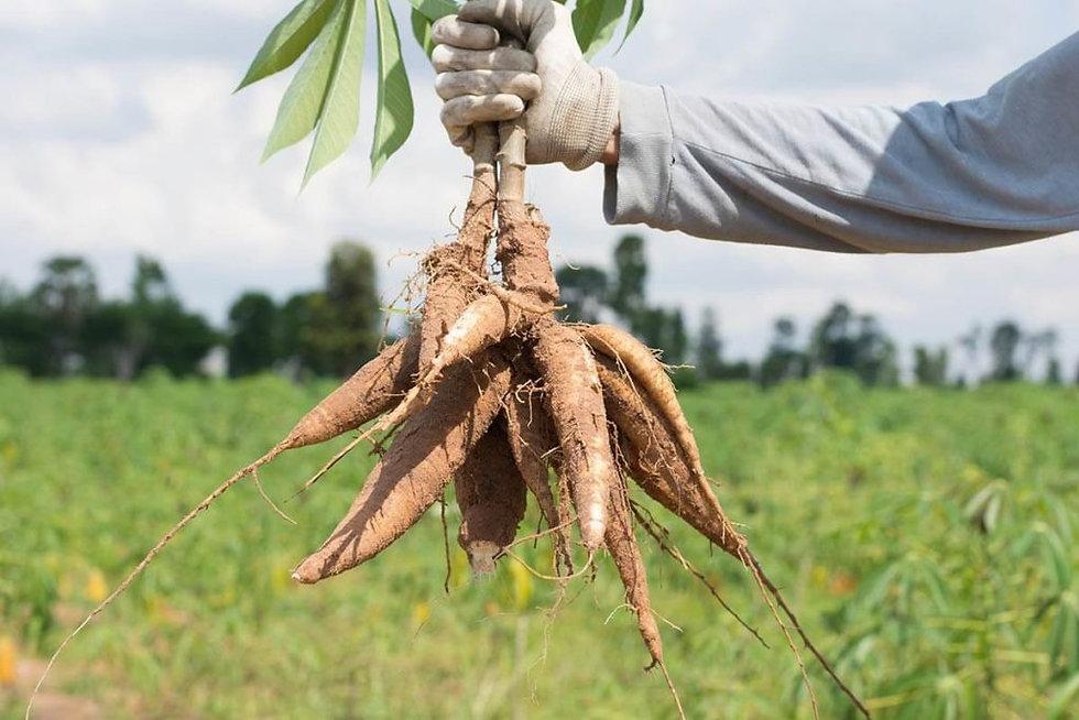 cassava starch bio resins