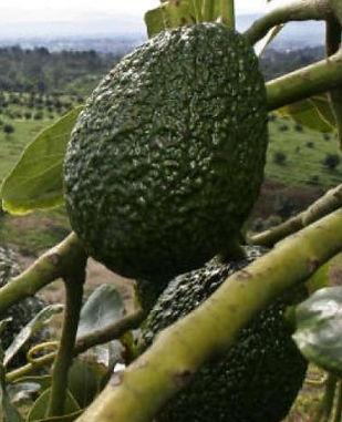 eco friendly avocado straws