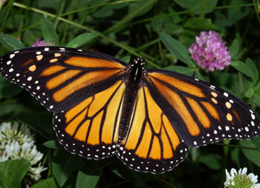 Butterflies are Disappearing