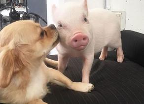Dog Adopts Piglets