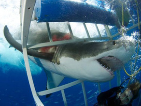 Shark and Diver in a Cage