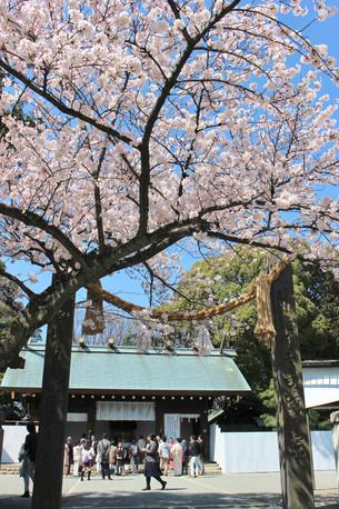 2018 横浜 桜の情景