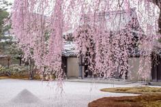 2019 京都 桜の情景