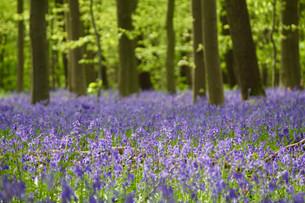 ベルギー ハルの森 幻想の世界