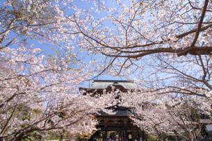 2019 鎌倉の春
