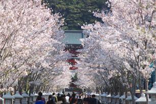 2018 鎌倉 桜の情景