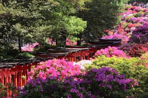 根津神社のツツジ