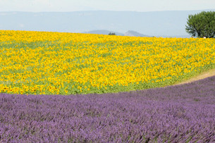 「夏の風景ひまわり畑」スペイン・アンダルシア地方と南フランス・プロヴァンス地方