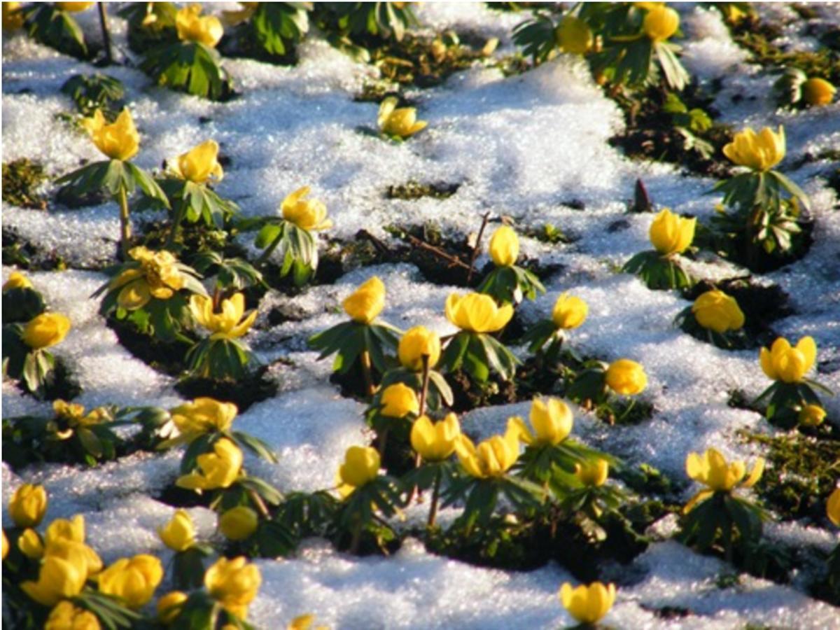 Aconites_in_the_snow_at_Glebe_House_B&B_