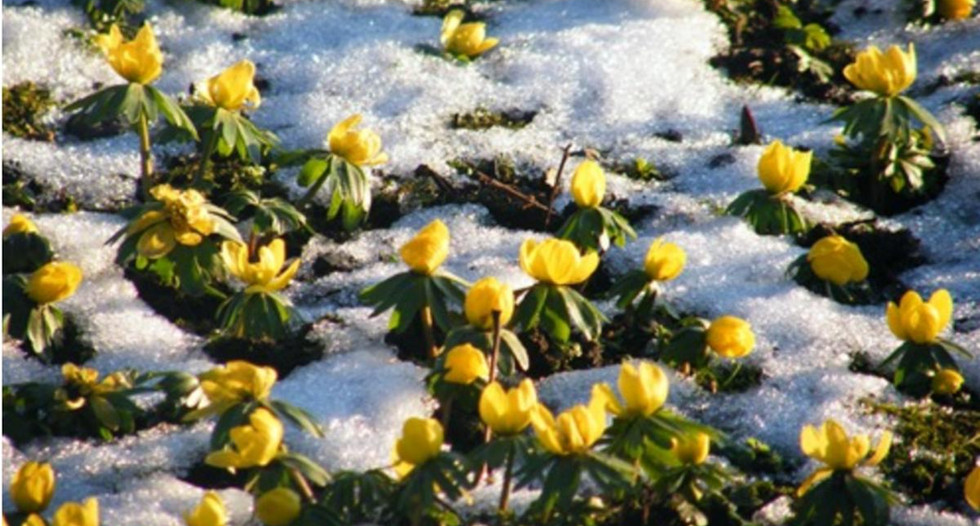 Aconites_in_the_snow_at_Glebe_House_B&B_
