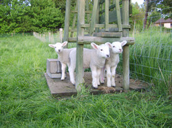 Baby lambs at Bridge Farm Cottages Brigh