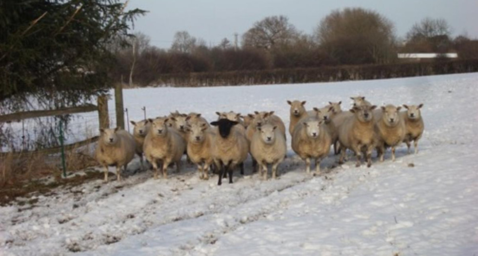 Sheep_in_the_snow_at_Glebe_House_Muston_