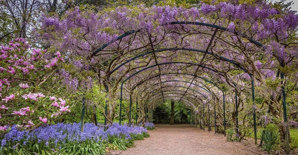 wisteria arch Ray Kearney.jpg